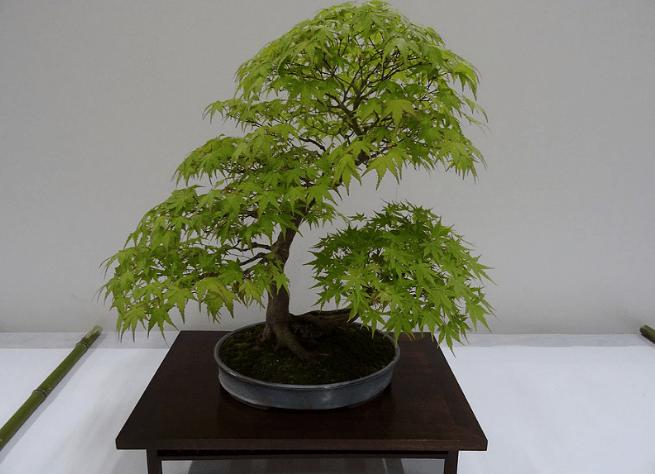 Entretien du bonsa erable fiche de conseils ma tre bonsa for Arbre bonsai exterieur