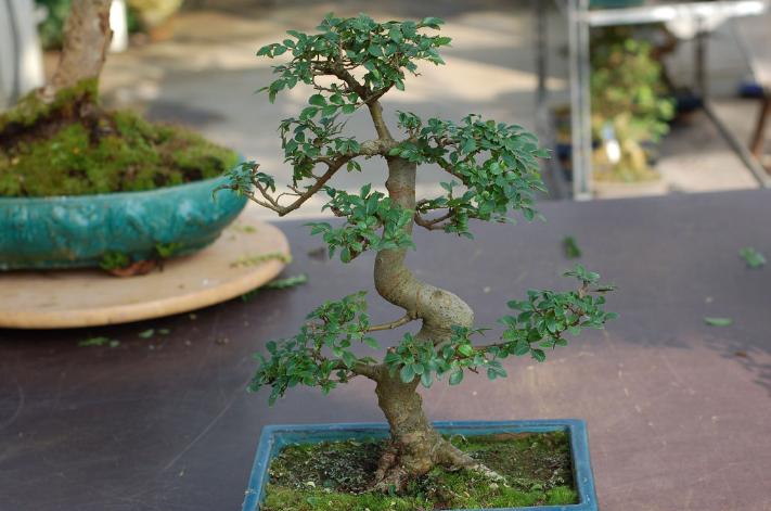 Bonsai orme de chine fiche conseil et entretien maitre for Entretien bonsai interieur