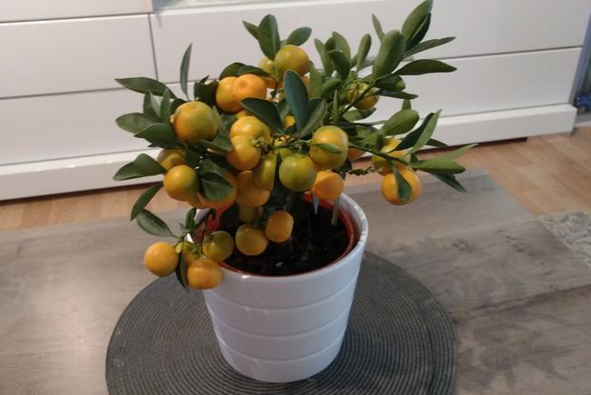 entretien bonsai citrus cr er un citronnier ma tre bonsa. Black Bedroom Furniture Sets. Home Design Ideas