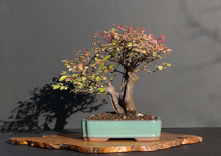 Bonsai double tronc Sokan