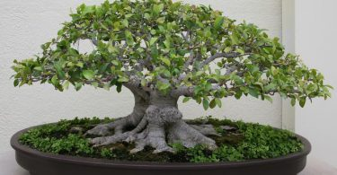 bonsai orme de chine ulmus parvifolia fiche d 39 entretien maitre bonsai. Black Bedroom Furniture Sets. Home Design Ideas
