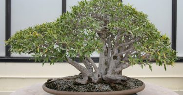 bonsai ficus ginseng retusa benjamina microcarpa. Black Bedroom Furniture Sets. Home Design Ideas