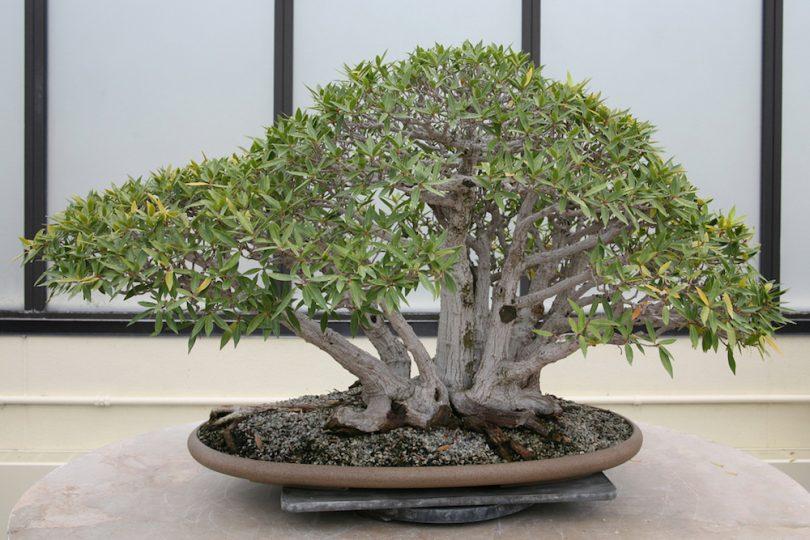 Bonsai ficus neriifolia