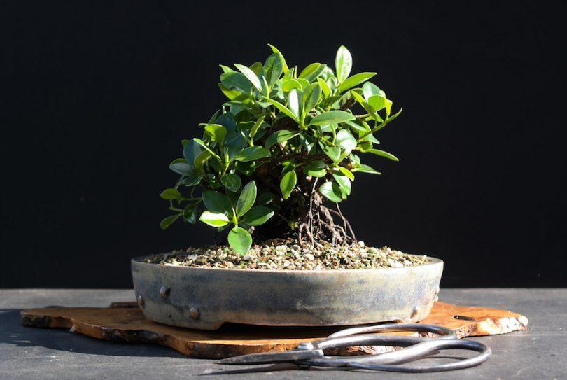 bonsai ficus ginseng retusa benjamina microcarpa maitre bonsai. Black Bedroom Furniture Sets. Home Design Ideas