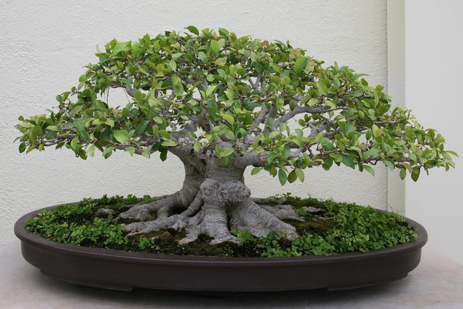 Entretien bonsai Ficus