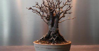 Mon bonsai perd ses feuilles