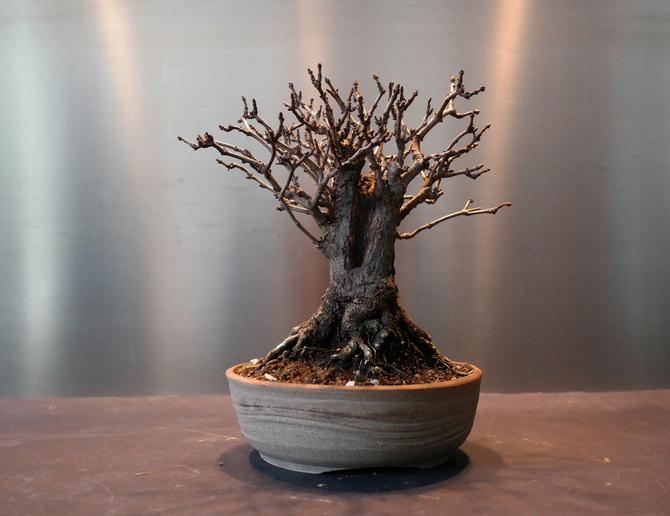 mon bonsai perd ses feuilles que faire maitre bonsai. Black Bedroom Furniture Sets. Home Design Ideas