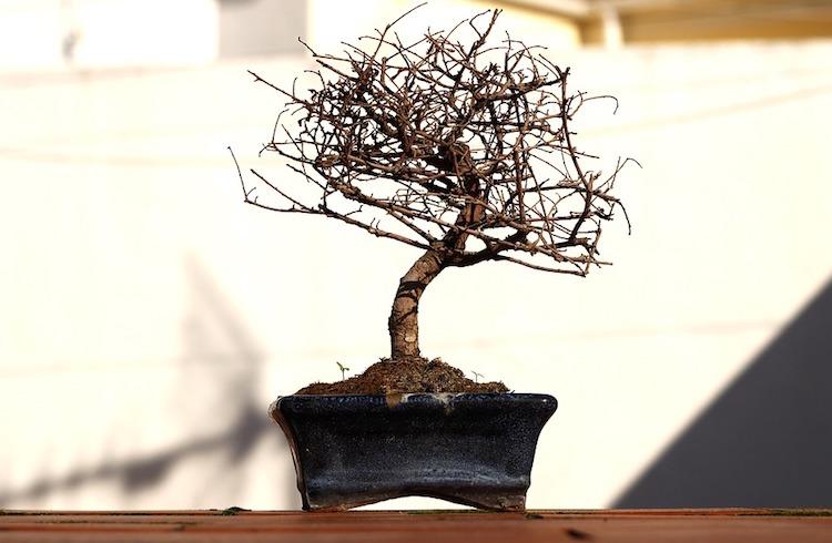 Perte des feuilles du bonsai caduque