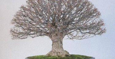 Le bonsai style balai Hokidachi