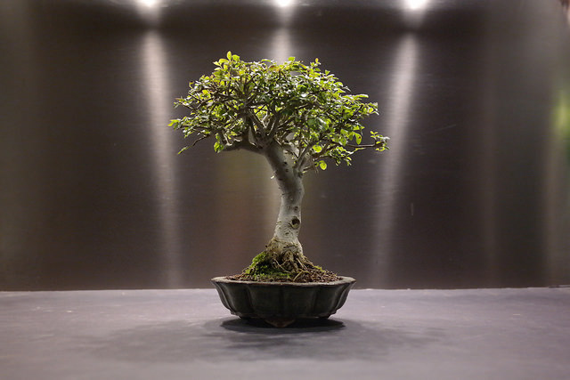 Komono, un bonsai d'intérieur de taille moyenne