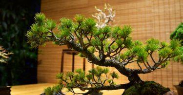 Définition et présentation du bonsai