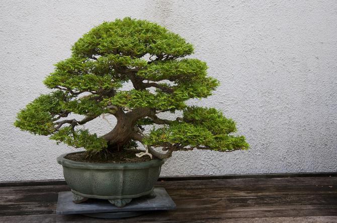 Entretien du bonsai