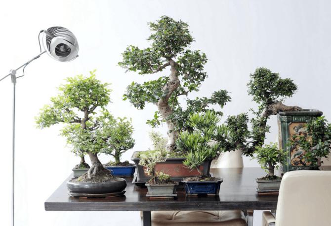 Fiche de culture des différentes espèces de bonsai