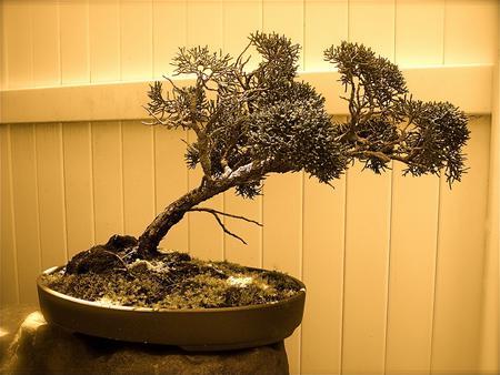 Forme de bonsai penchée