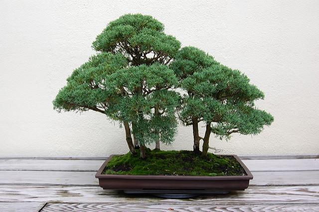 Omono, grand bonsai d'extérieur pour jardin