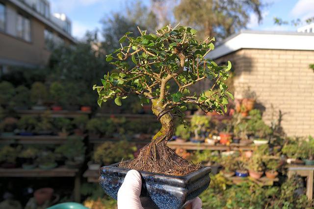 Un petit bonsai Shohin