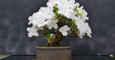Pot bonsai Azalée