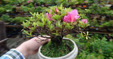 Azalée Pot bonsai blanc