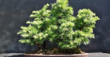 Pot bonsai plat style foret