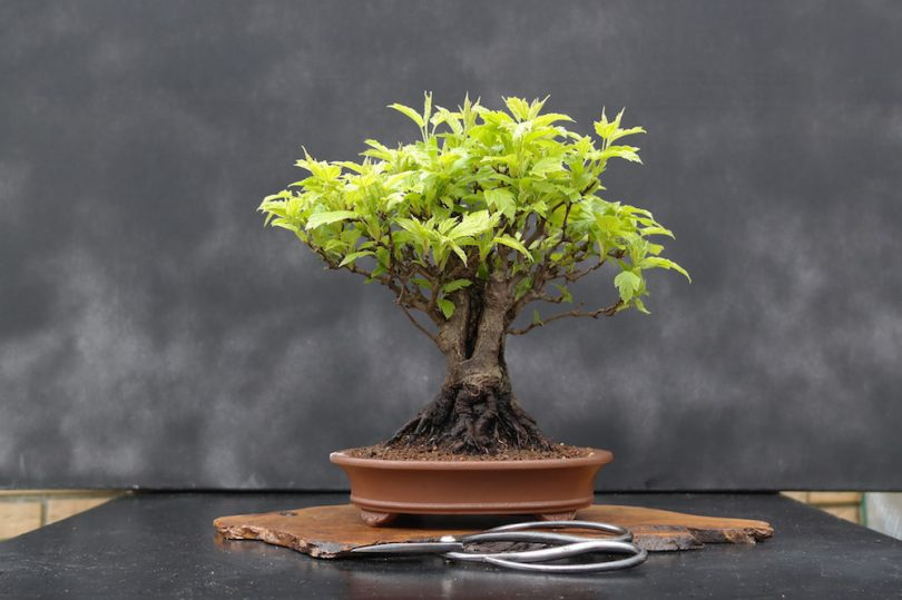 Pot bonsai ovale