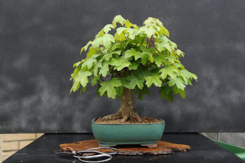 Pot bonsai rectangle