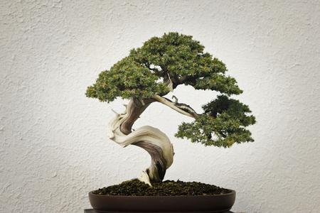 Style de bonsai courbé