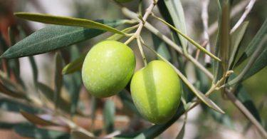 Bonsai olivier
