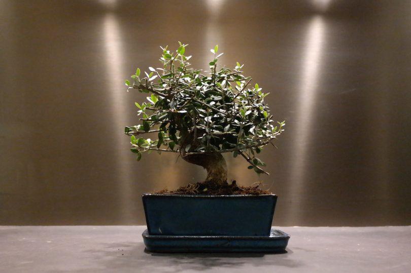 Bonsai Olivier (Olea Europaea)