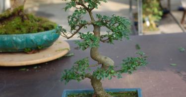 Bonsai Orme de Chine