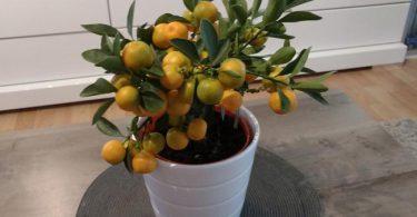 Entretien du bonsai citrus