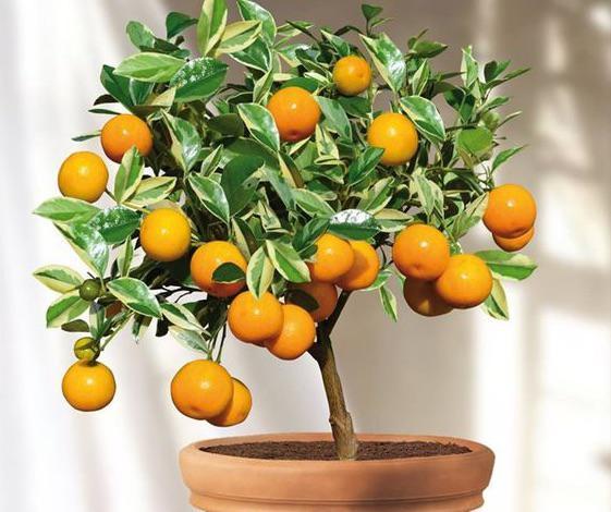 Faire un bonsai citrus - citrionnier