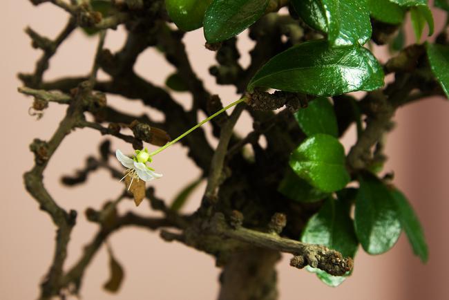 Les feuilles et les fleurs du Carmona