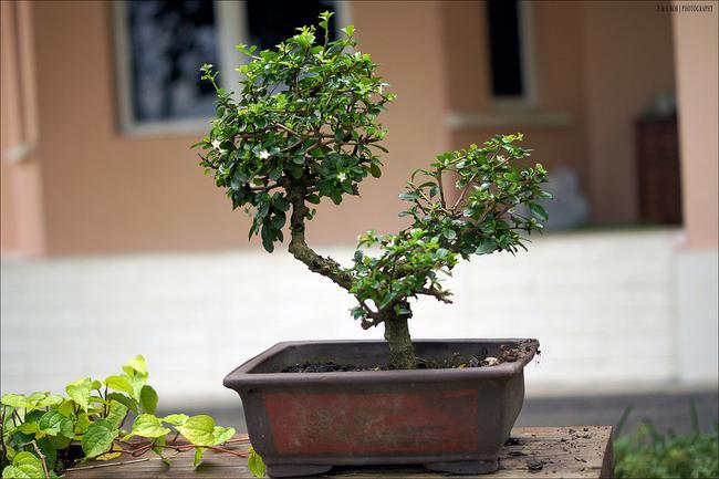 Pot à bonsai rectangulaire