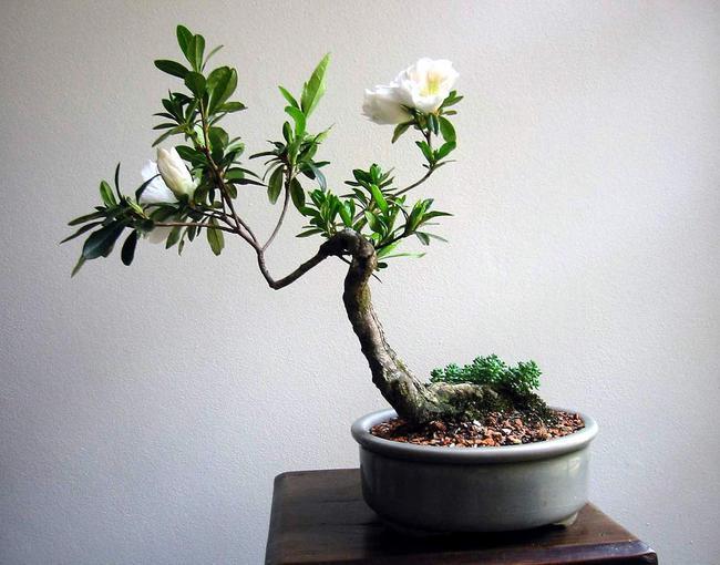 Pot à bonsai rond