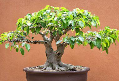 7 astuces pour débutant en bonsai