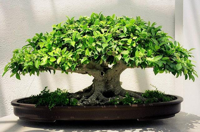 Bonsai Ficus Benjamina