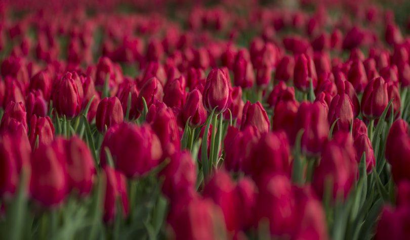 Comment planter des tulipes