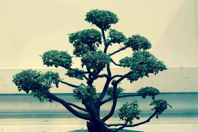 Vocabulaire sur l'art du bonsai