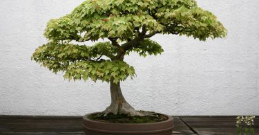 Bonsai érable