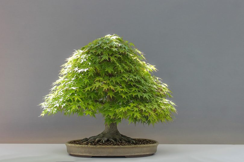 Bonsai érable du Japon