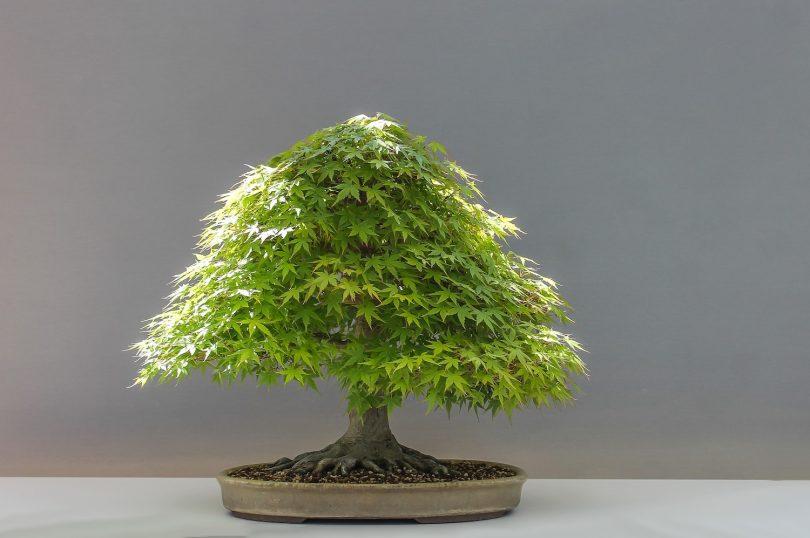 bonsai erable du japon fiche d 39 entretien de l 39 acer maitre bonsai. Black Bedroom Furniture Sets. Home Design Ideas