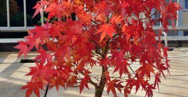 Bonsai érable rouge