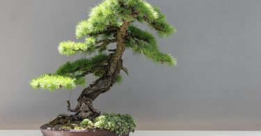 Bonsai Mélèze Larix