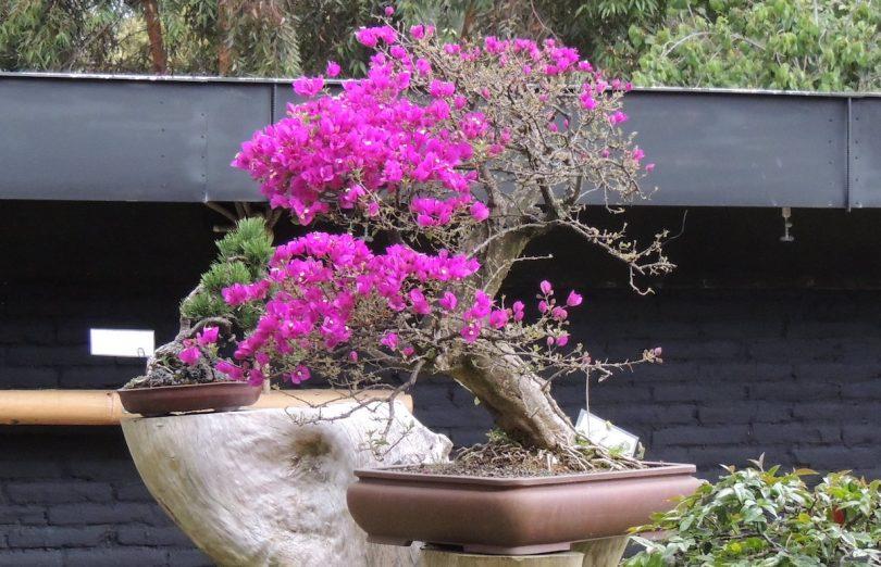 Bonsai Bougainvillea - Bougainvillier