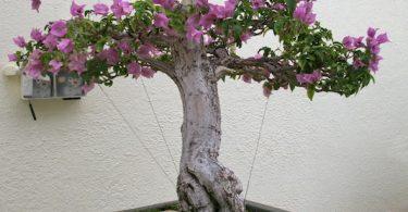 Bonsai Bougainvillea Glabra