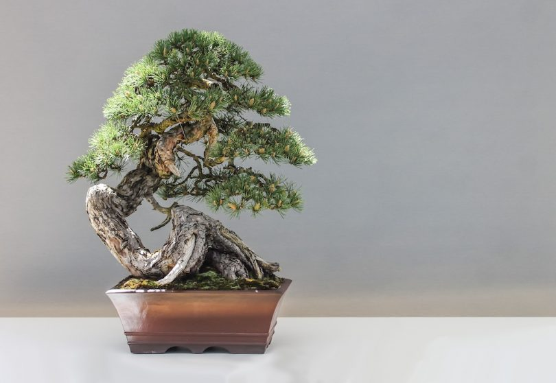 Bonsai mélèze d'Europe - Larix Decidua