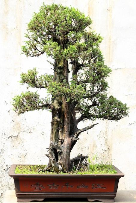 Bonsai Larix Decidua