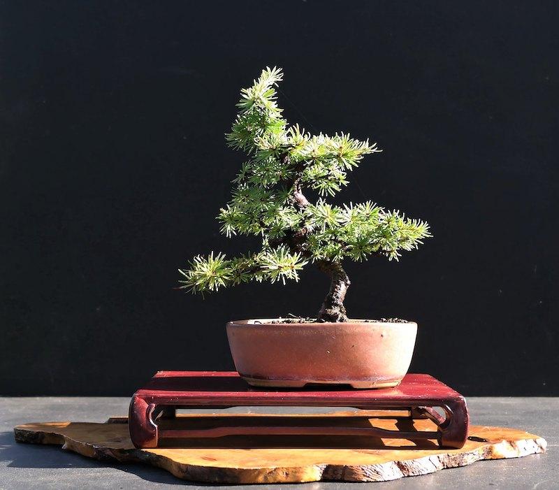 Bonsai mélèze (Larix) Shohin