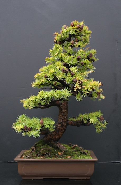 Bonsai mélèze (Larix)