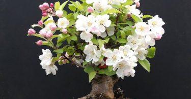 Bonsai Malus pommier avec fleurs